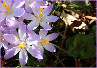 Frühling Krokusse